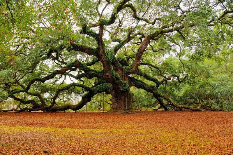 Oak_tree-11917