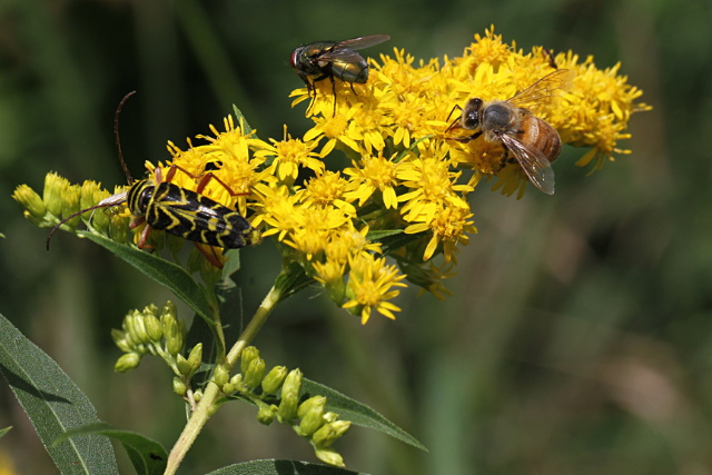 Goldenrod-insects-img_3582-1