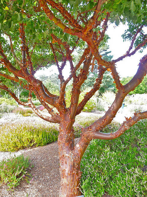 Paperbark_maple_scapeafinegardening
