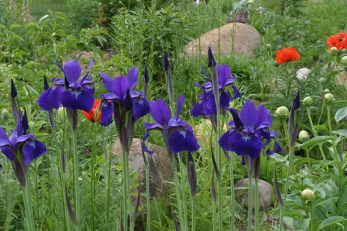 how to start siberian iris seeds