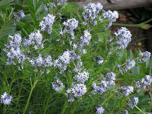 Amsonia hubrichtii Thread-leaf Blue Star