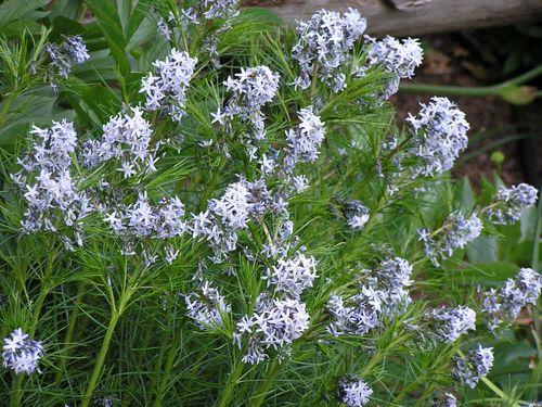Amsonia hubrichtii Thread-leaf Blue Star